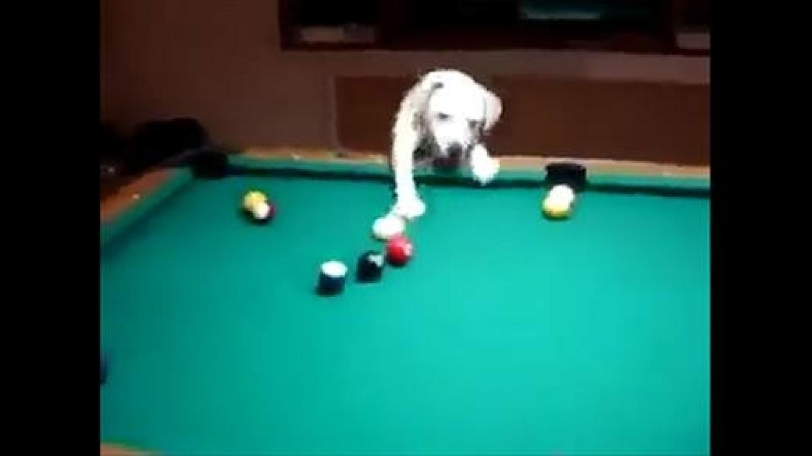 """Video: Tròn mắt xem cún cưng trổ tài chơi bi-a """"bách phát bách trúng"""""""