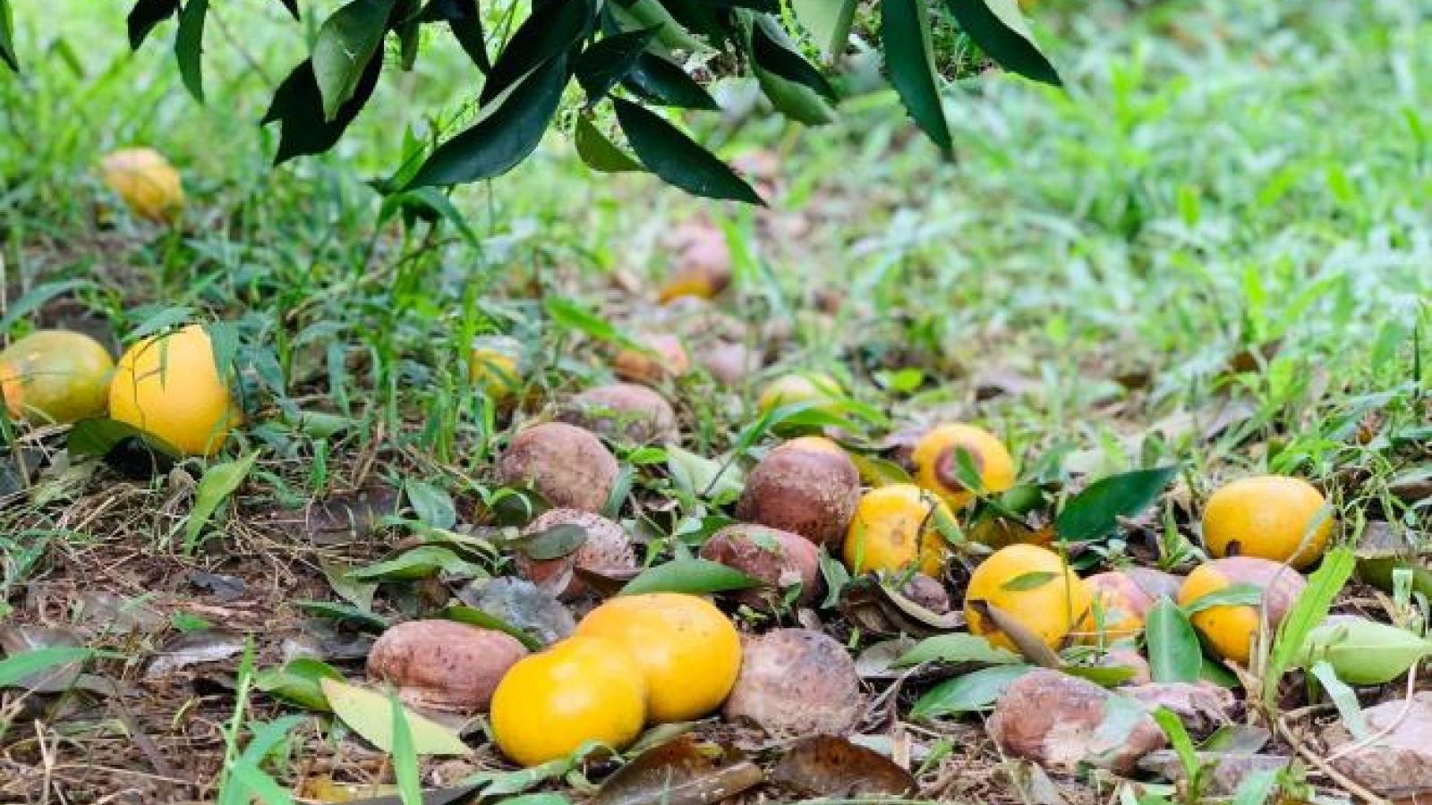 Cam đặc sản Hà Tĩnh thối rụng đầy vườn sau mưa lũ