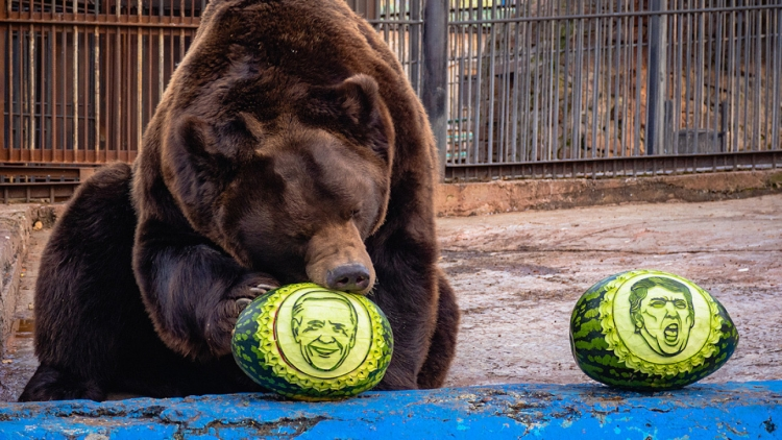 """Video: """"Tiên tri"""" hổ và gấu tại Nga dự đoán kết quả bầu cử Tổng thống Mỹ 2020"""