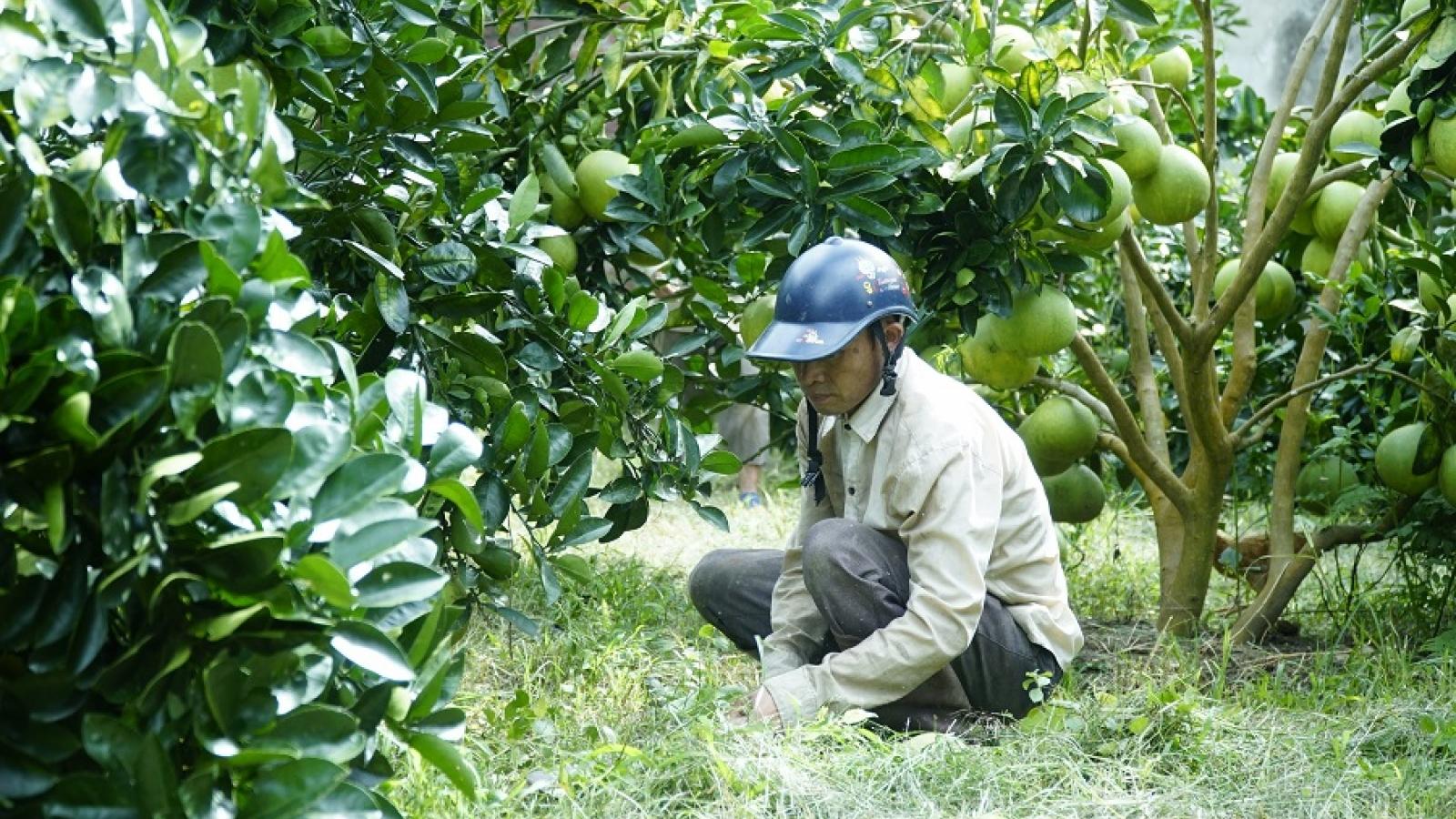 Xây dựng Mường Ảng thành vùng chuyên canh cây ăn quả ở Điện Biên