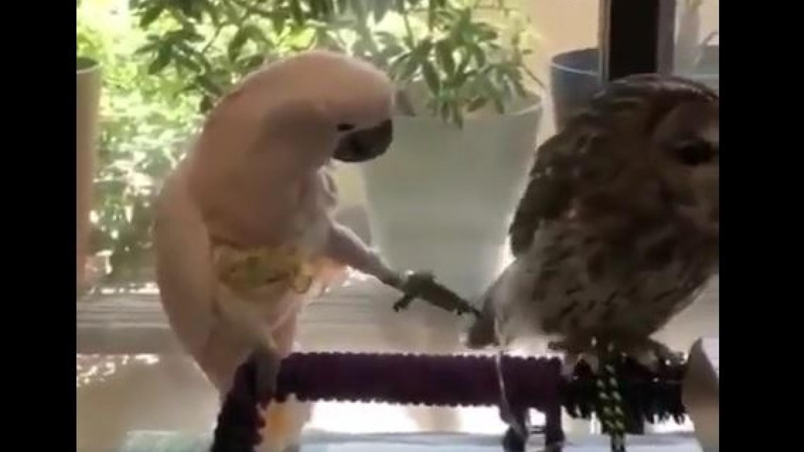 """Đáng yêu chú vẹt """"đùa dai"""" thích trêu chọc cú mèo"""