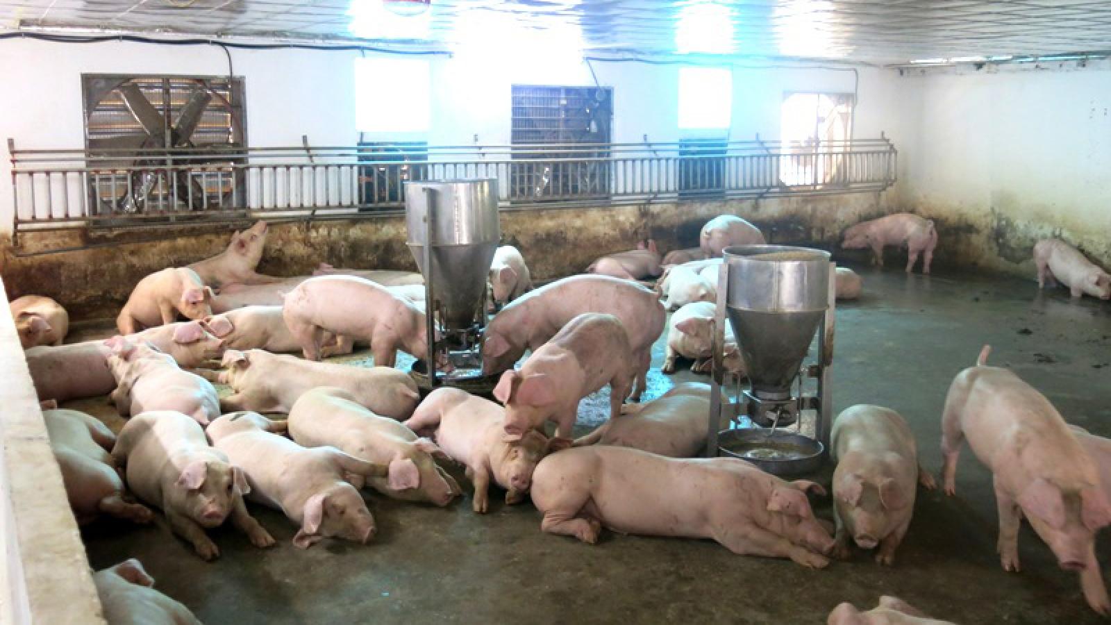 """Người chăn nuôi lo lắng mầm bệnh từ """"lợn chạy lũ"""""""