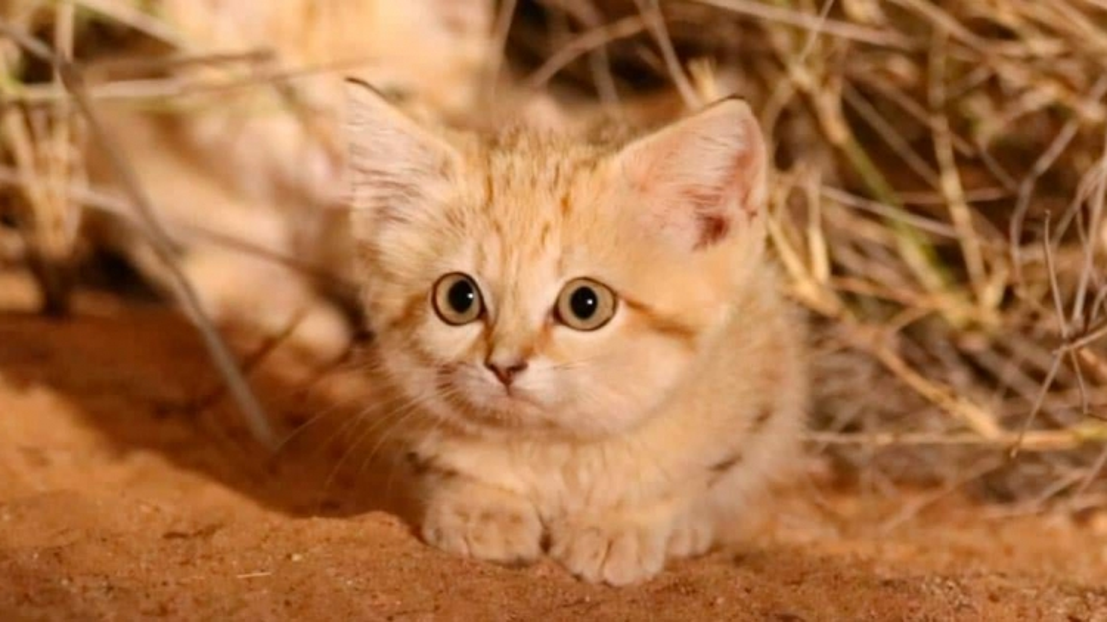 Video cực hiếm về mèo cát hoang dã ở sa mạc Sahara