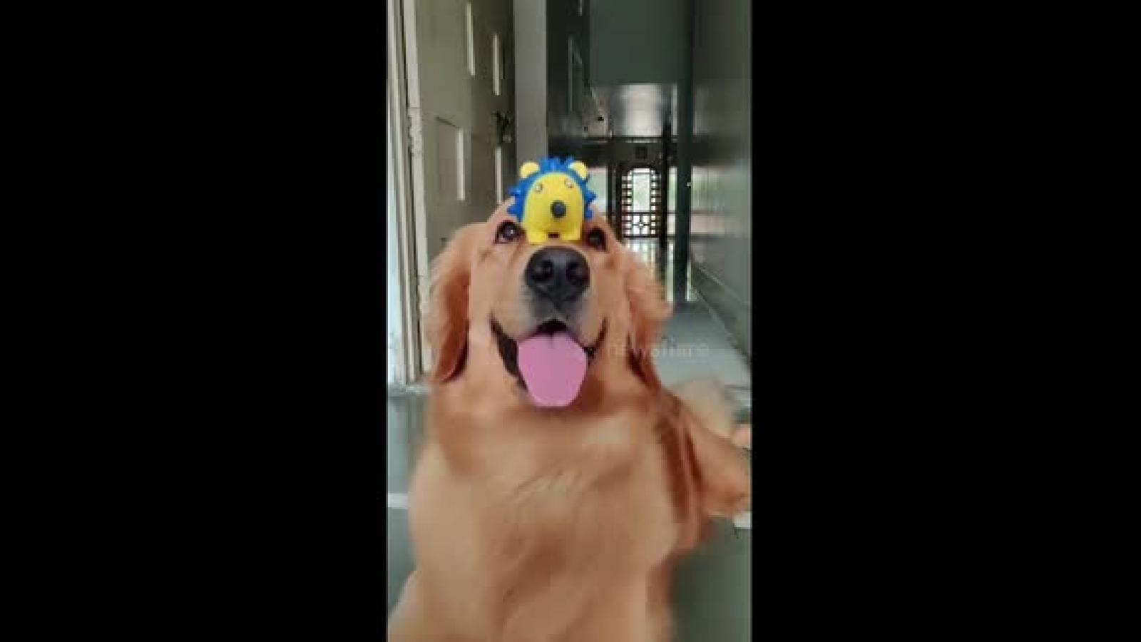Video: Ấn tượng khả năng giữ thăng bằng cực đỉnh của chú chó