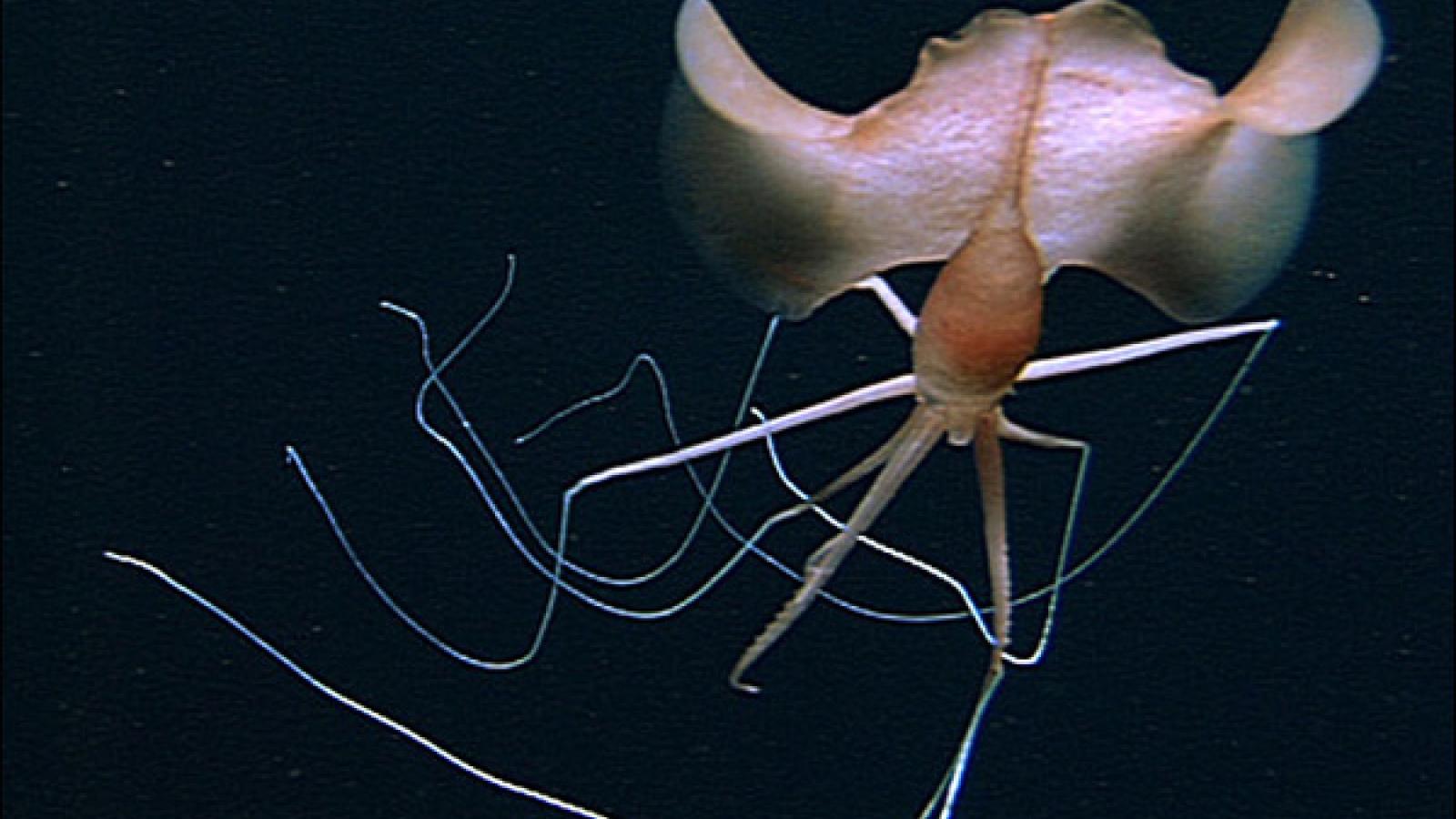 """Chiêm ngưỡng loài mực kỳ lạ nhất hành tinh """"biến hình"""" dưới đáy biển sâu"""