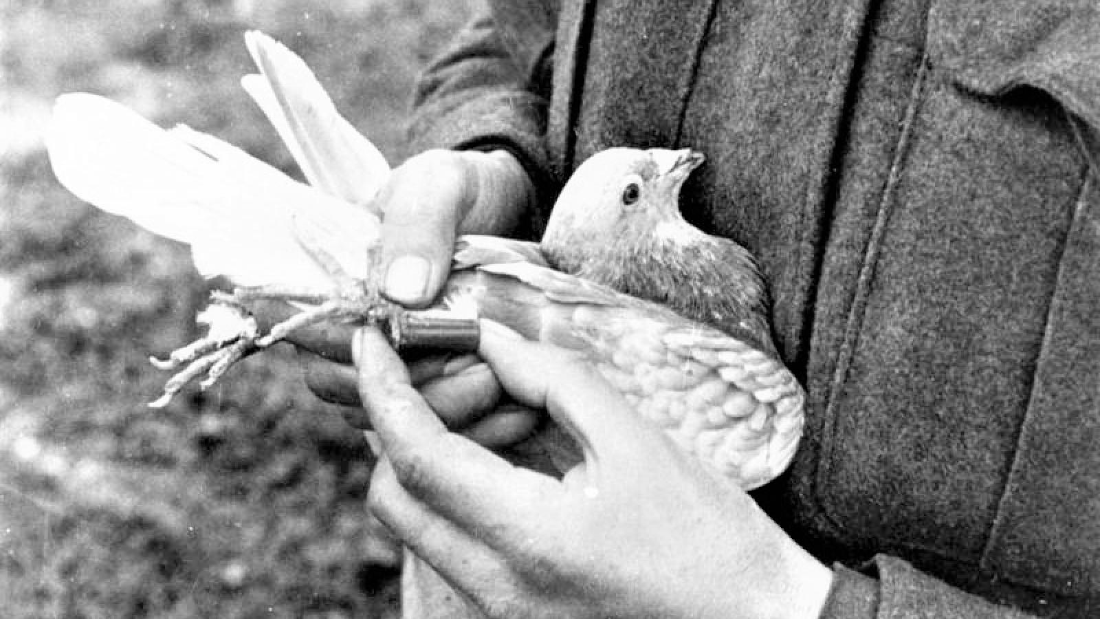 """Chim bồ câu - """"chiến sỹ thông tin"""" đắc lực một thời"""