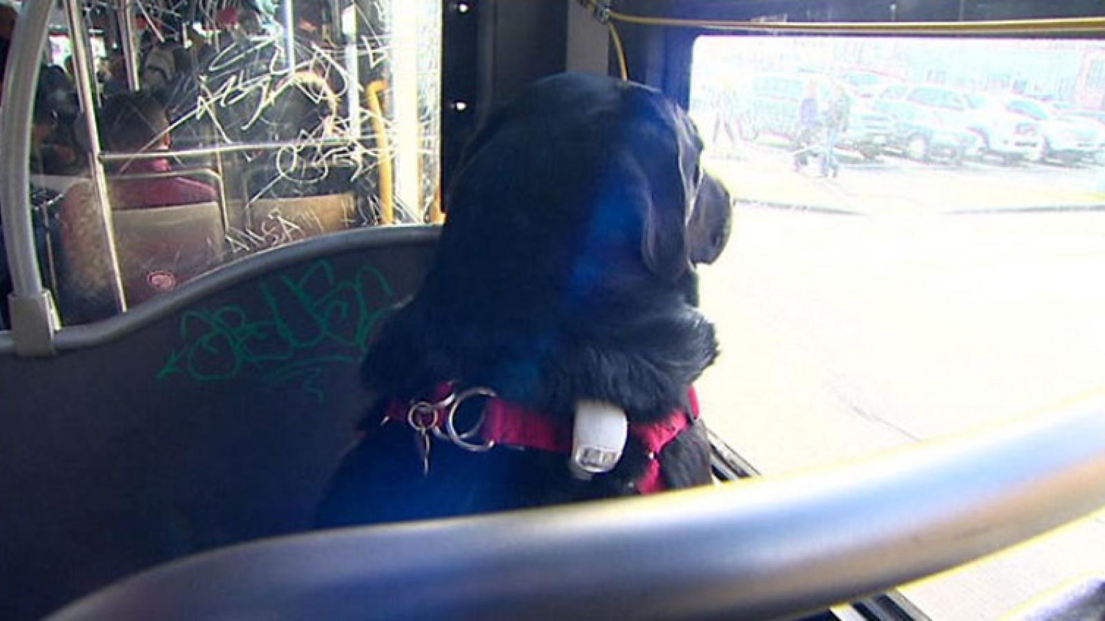 Đáng yêu chú chó biết tự bắt xe bus để tới công viên mỗi ngày