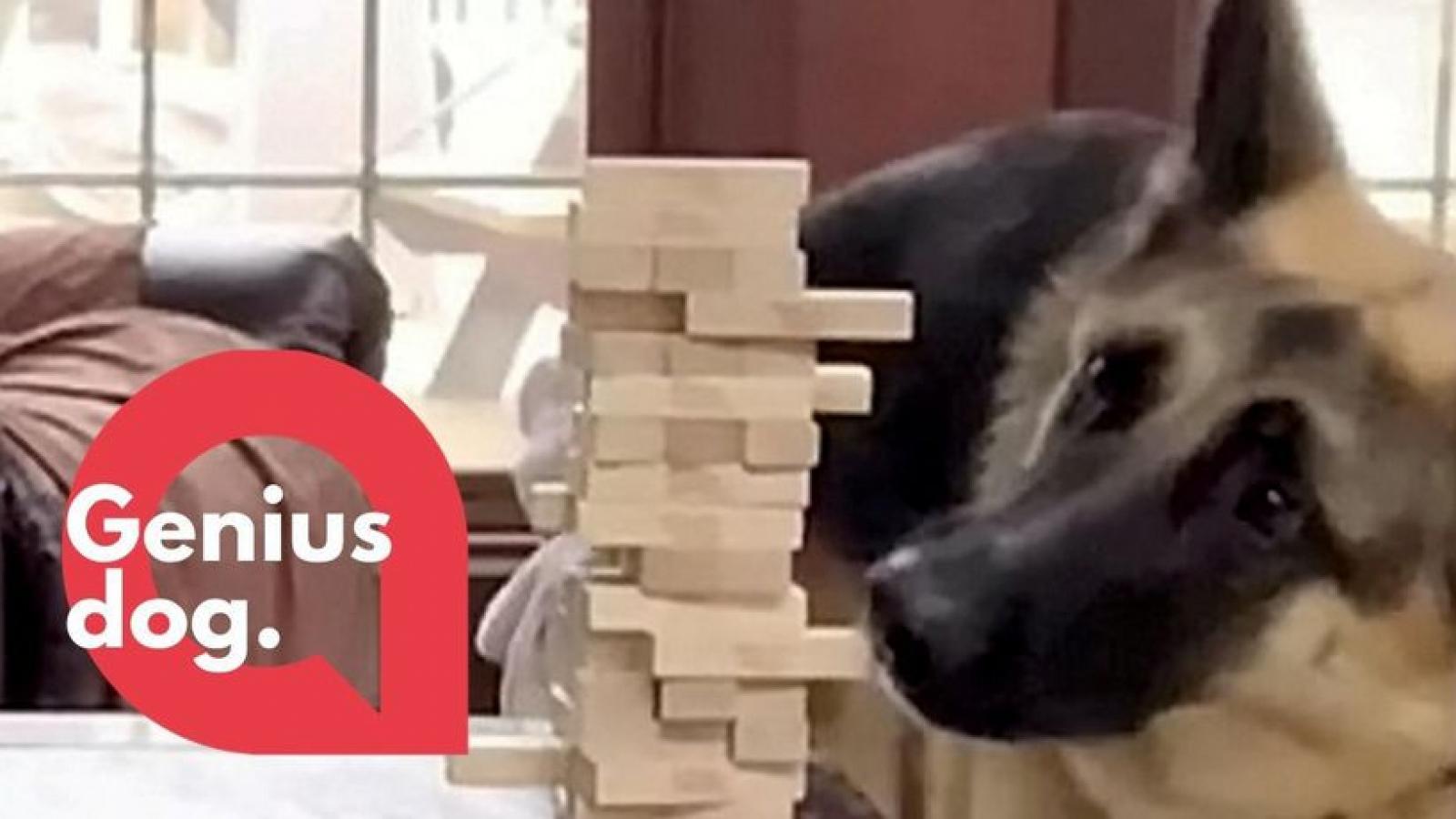 Video: Xem chú chó thông minh chơi rút gỗ cực tài tình