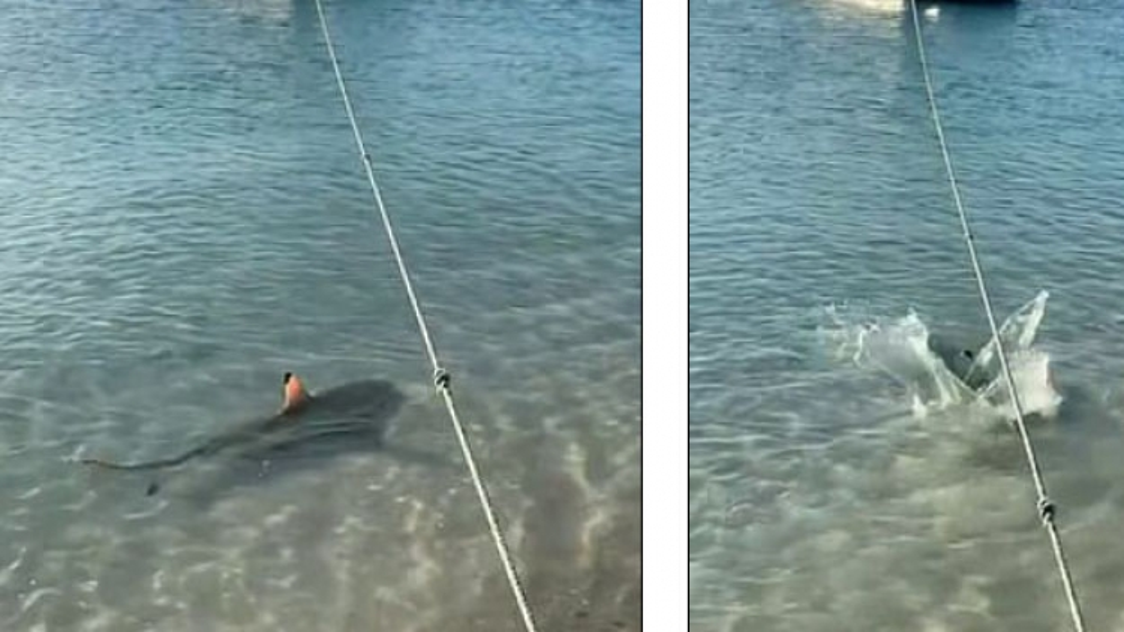 Chú chó dũng cảm một mình đương đầu với cá mập để bảo vệ chủ
