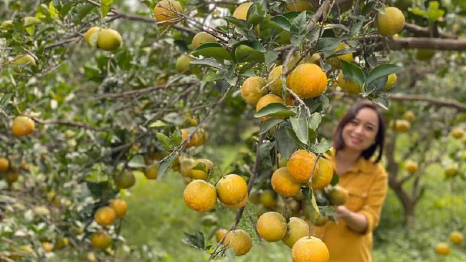 Lần đầu tiên Nghệ An có trang trại cam Vinh đạt tiêu chuẩn xuất khẩu toàn cầu