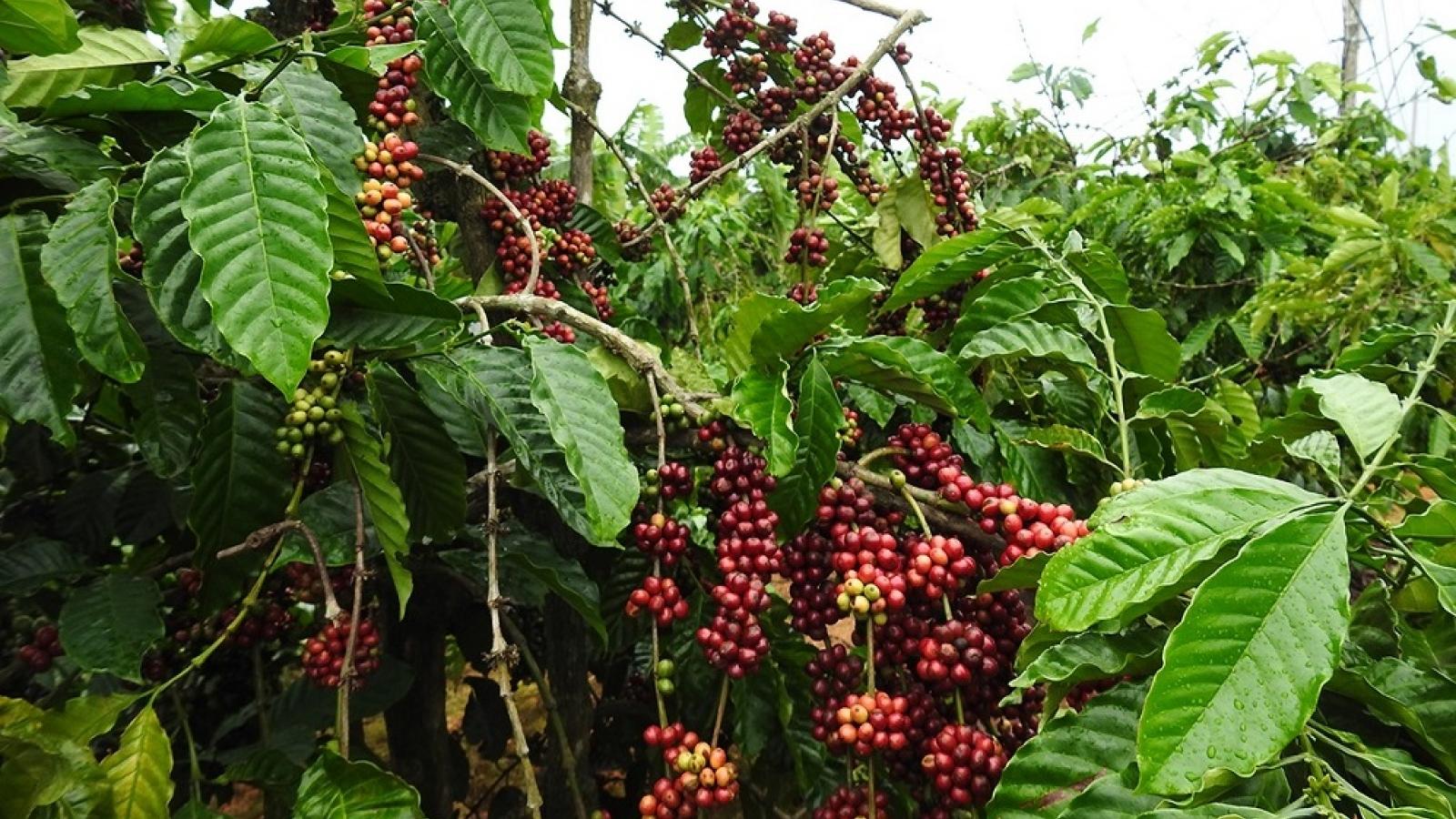 Nông dân Kon Tum chồng chất khó khăn khi bước vào vụ thu hoạch cà phê