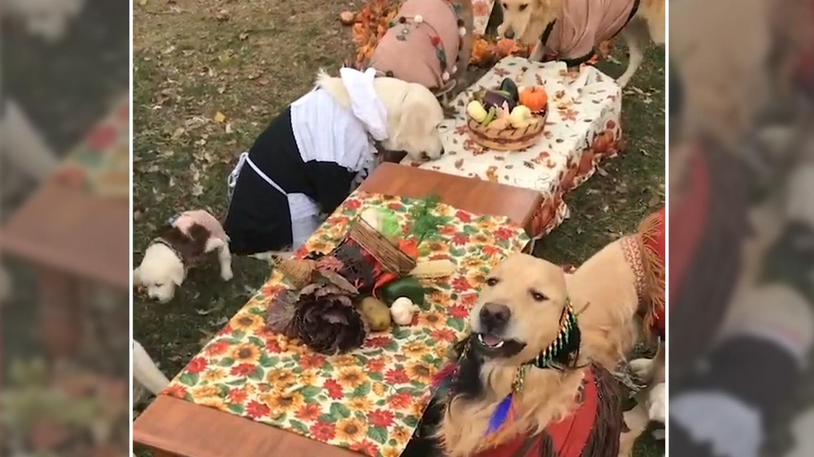 Đáng yêu dàn cún cưng nô nức dự tiệc mừng Lễ Tạ ơn
