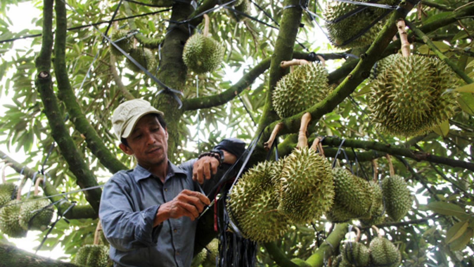 Lâm Đồng đăng ký mã số vùng trồng cho sầu riêng