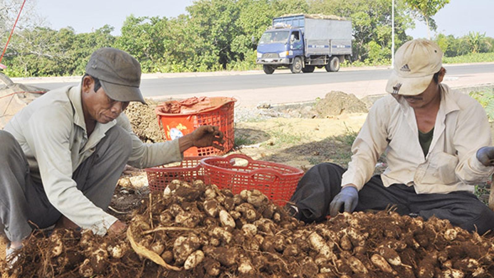 Nông dân đổi đời nhờ trồng cây củ lùn