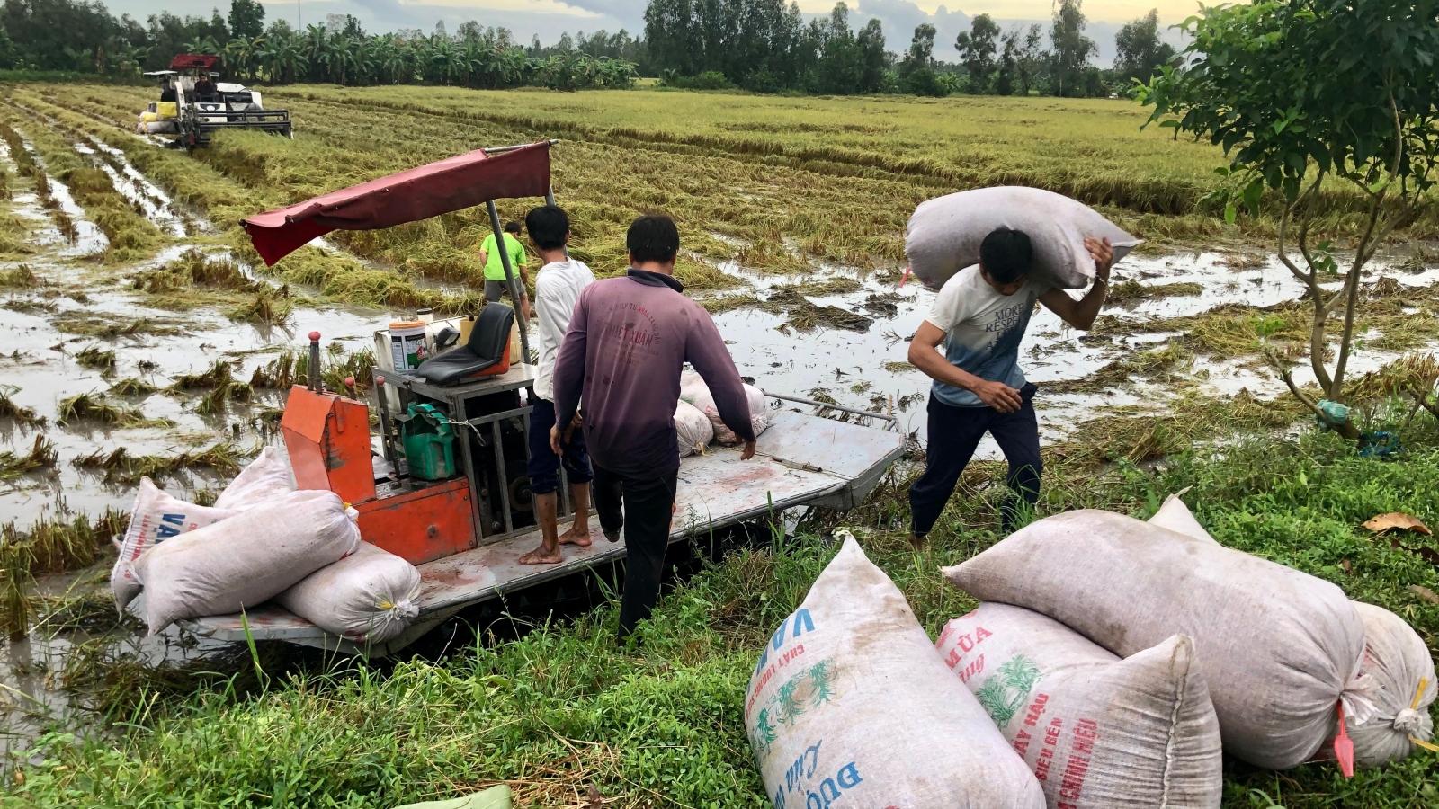 Giá lúa tăng nhưng năng suất lúa lại giảm do đổ ngã, ngập úng