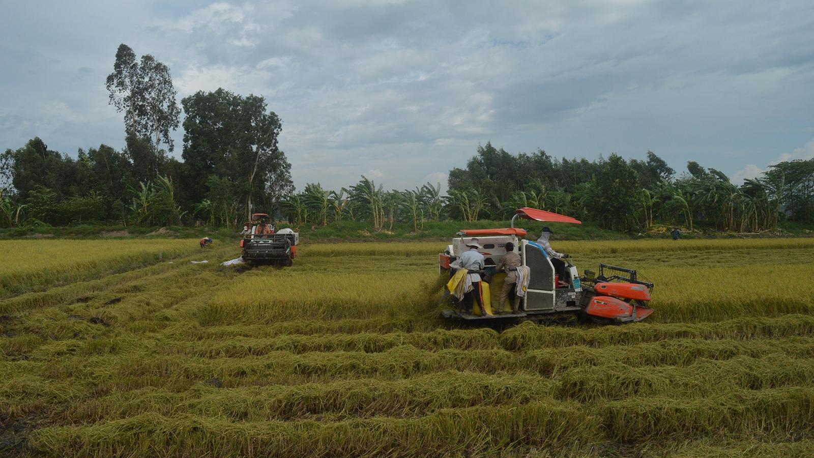 """Kiên Giang thay đổi cơ cấu giống lúa """"vượt"""" hạn mặn, được mùa được giá"""