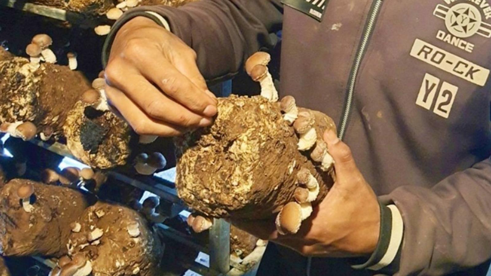 Trồng nấm hương giúp nông dân Lạc Dương thoát nghèo