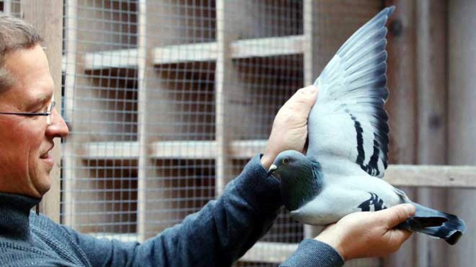 New Kim, chim bồ câu đua đắt nhất thế giới có giá gần 2 triệu USD