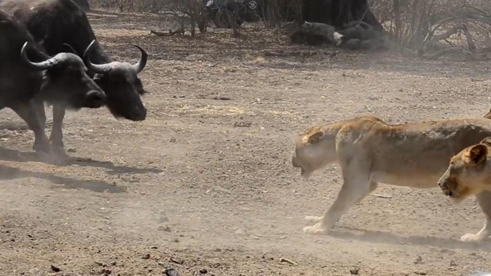 Cuộc chiến giành nguồn nước giữa sư tử và trâu rừng ở công viên quốc gia Zambia