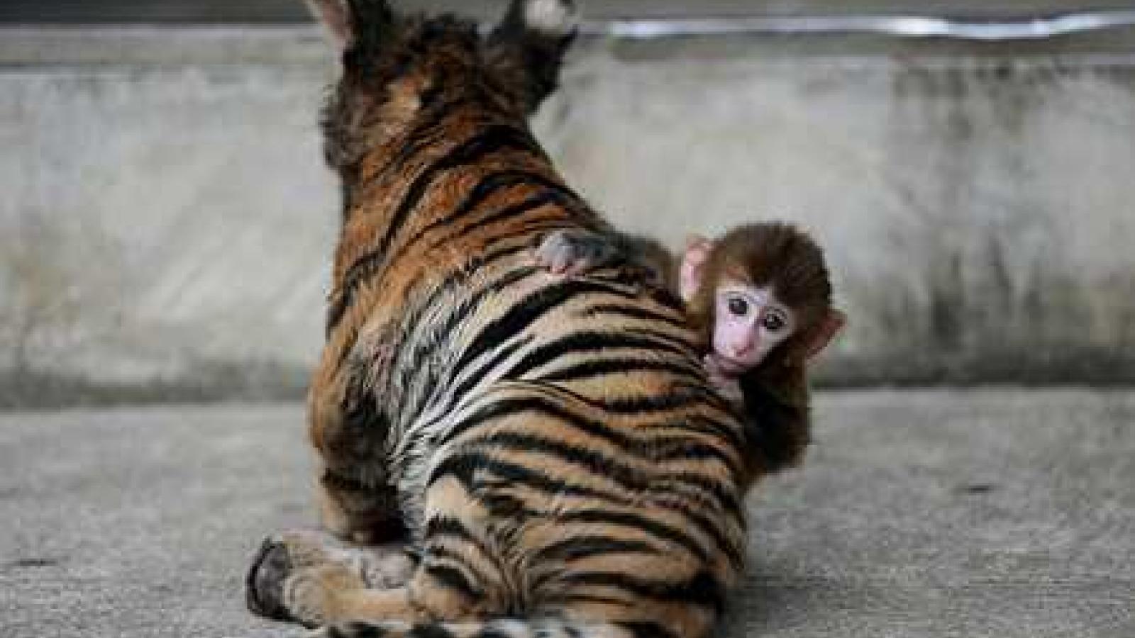Thú vị khoảnh khắc hổ con và khỉ con quấn quýt chơi đùa với nhau