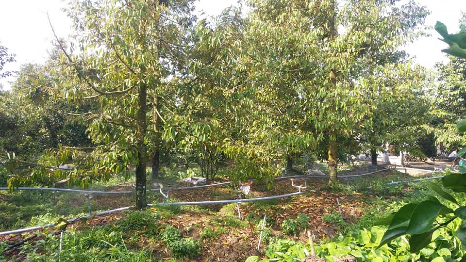 Điểm sáng khôi phục vườn cây đặc sản sau hạn mặn ở Bến Tre
