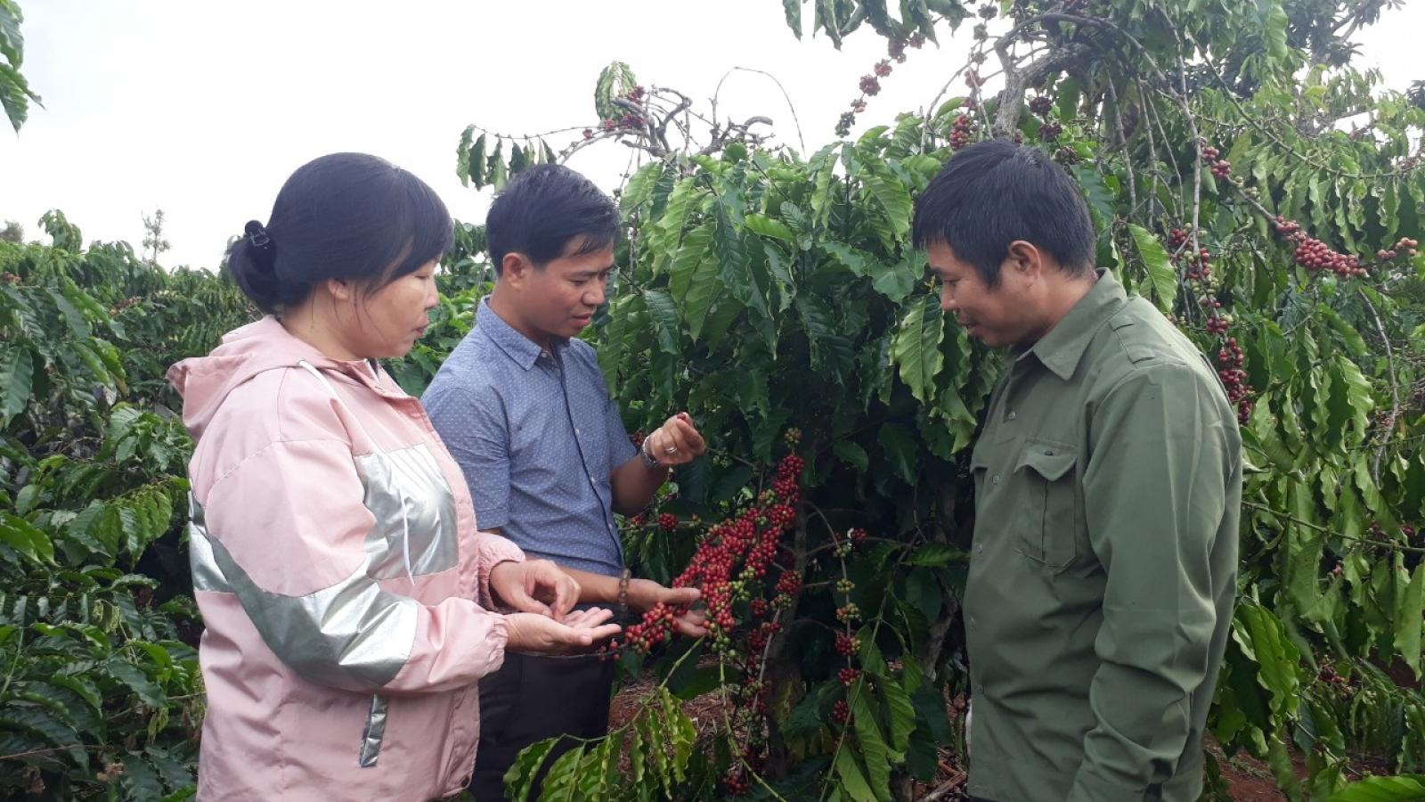 Cà phê Đắk Lắk tăng diện tích, giảm sản lượng