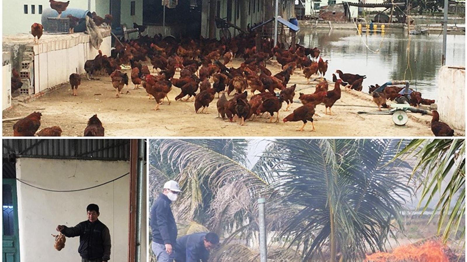 Tiêu hủy gần 1.000 con gà nhiễm cúm gia cầm H5N6 ở Quảng Ninh