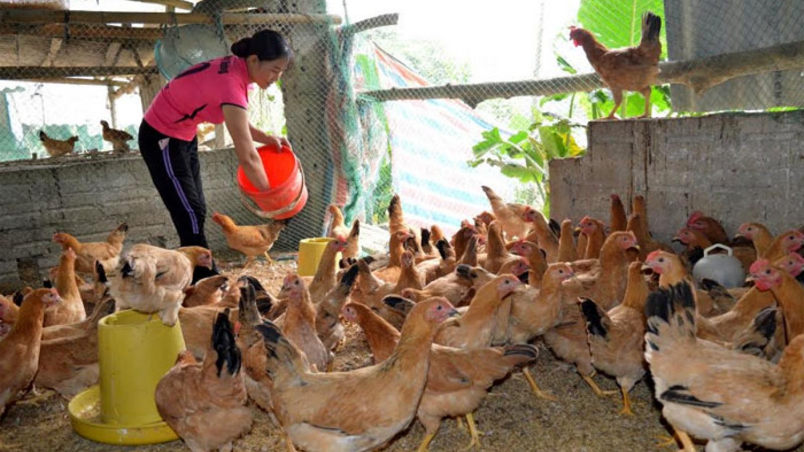 Xóa đói, giảm nghèo nhờ nuôi gà