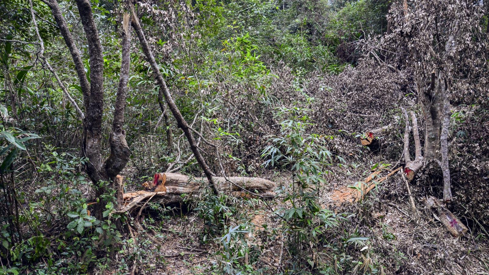 Vụ phá rừng đặc dụng Mường Phăng: Tạm đình chỉ công tác Giám đốc Ban Quản lý