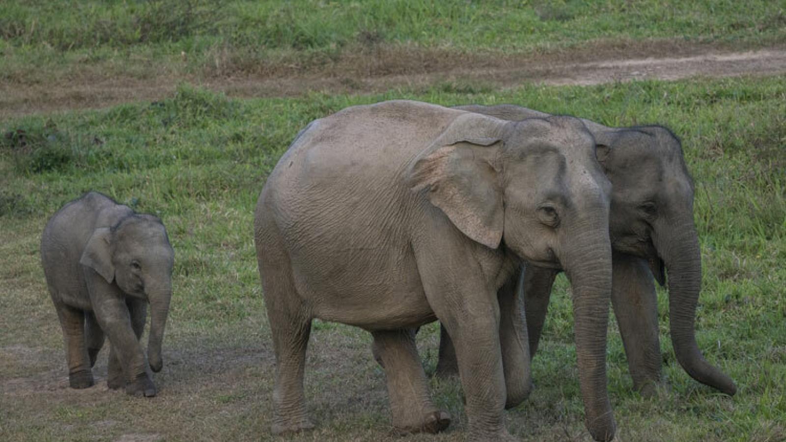 Một cá thể voi rừng ở Đồng Nai sinh con thành công