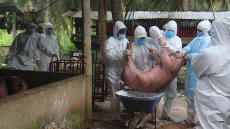 Ben Tre province hit with fresh outbreak of African swine fever