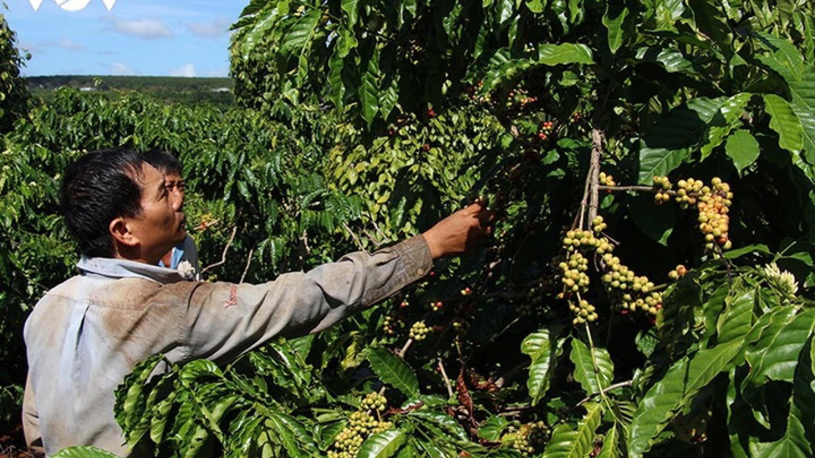 Việt Nam trước cơ hội trở thành số 1 thị trường cà phê thế giới