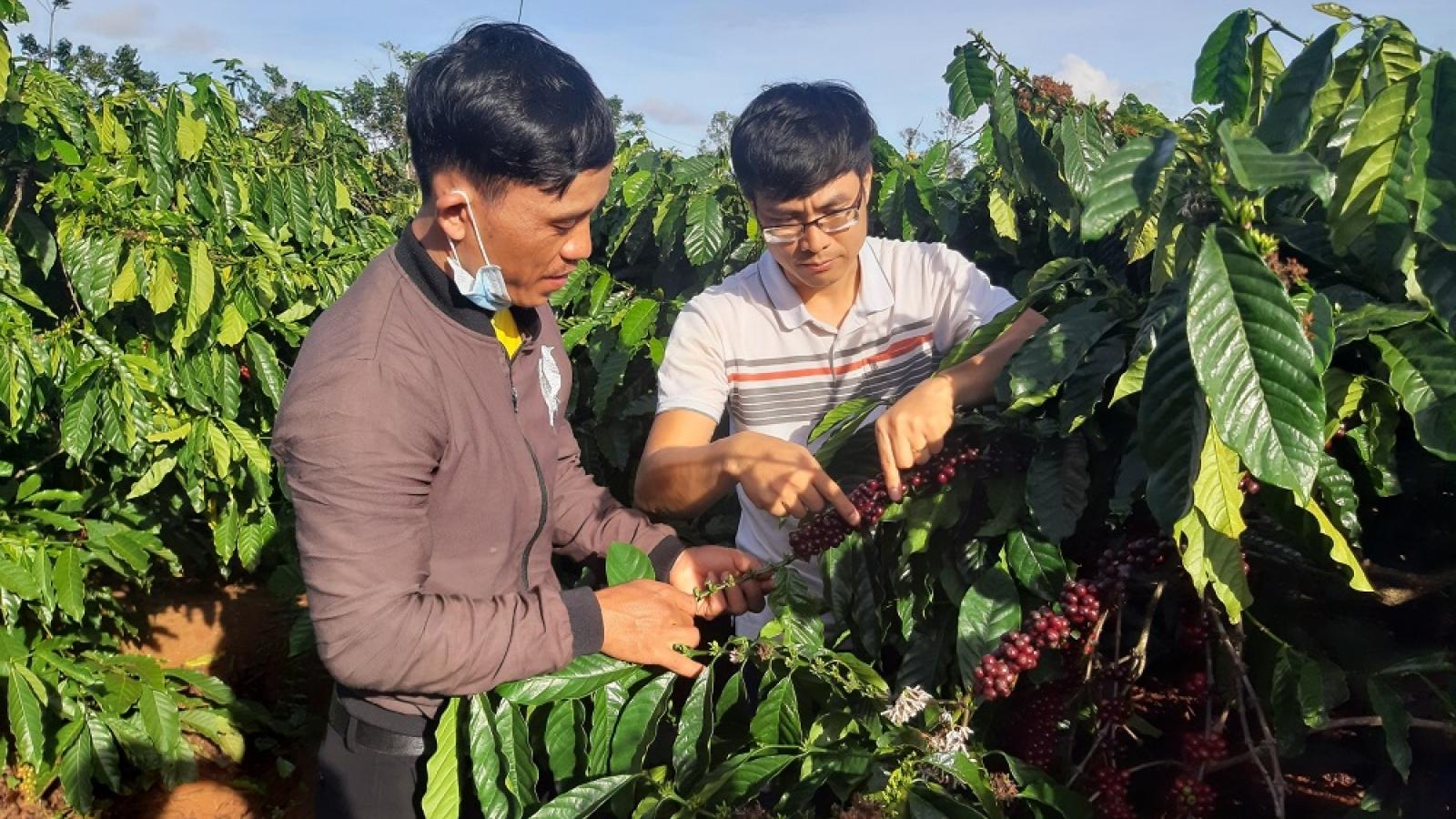 Người Bahnar làm cà phê theo tiêu chuẩn xuất khẩu