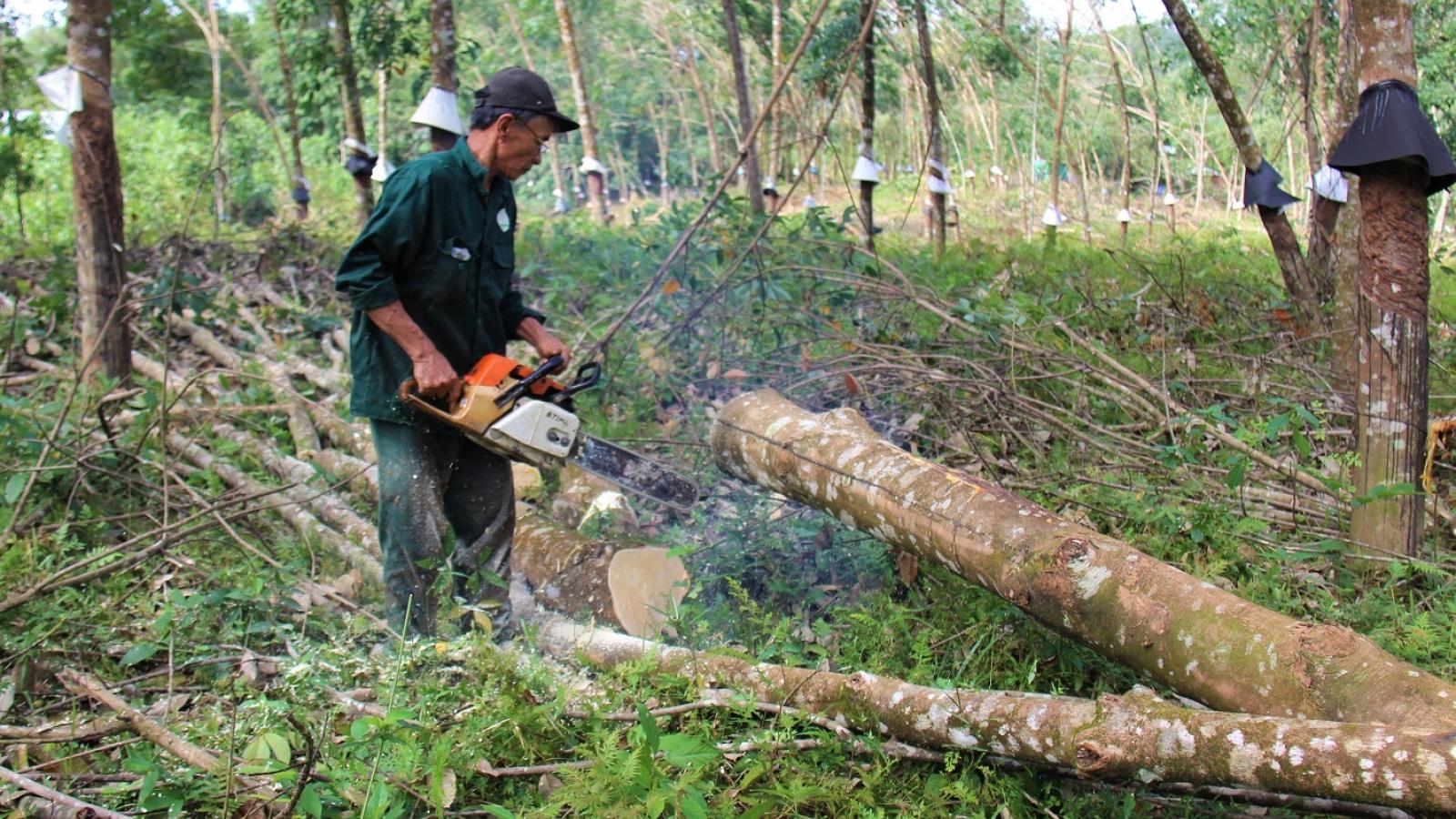 Quảng Nam tìm hướng thay thế cây cao su bị ngã đổ sau bão số 9
