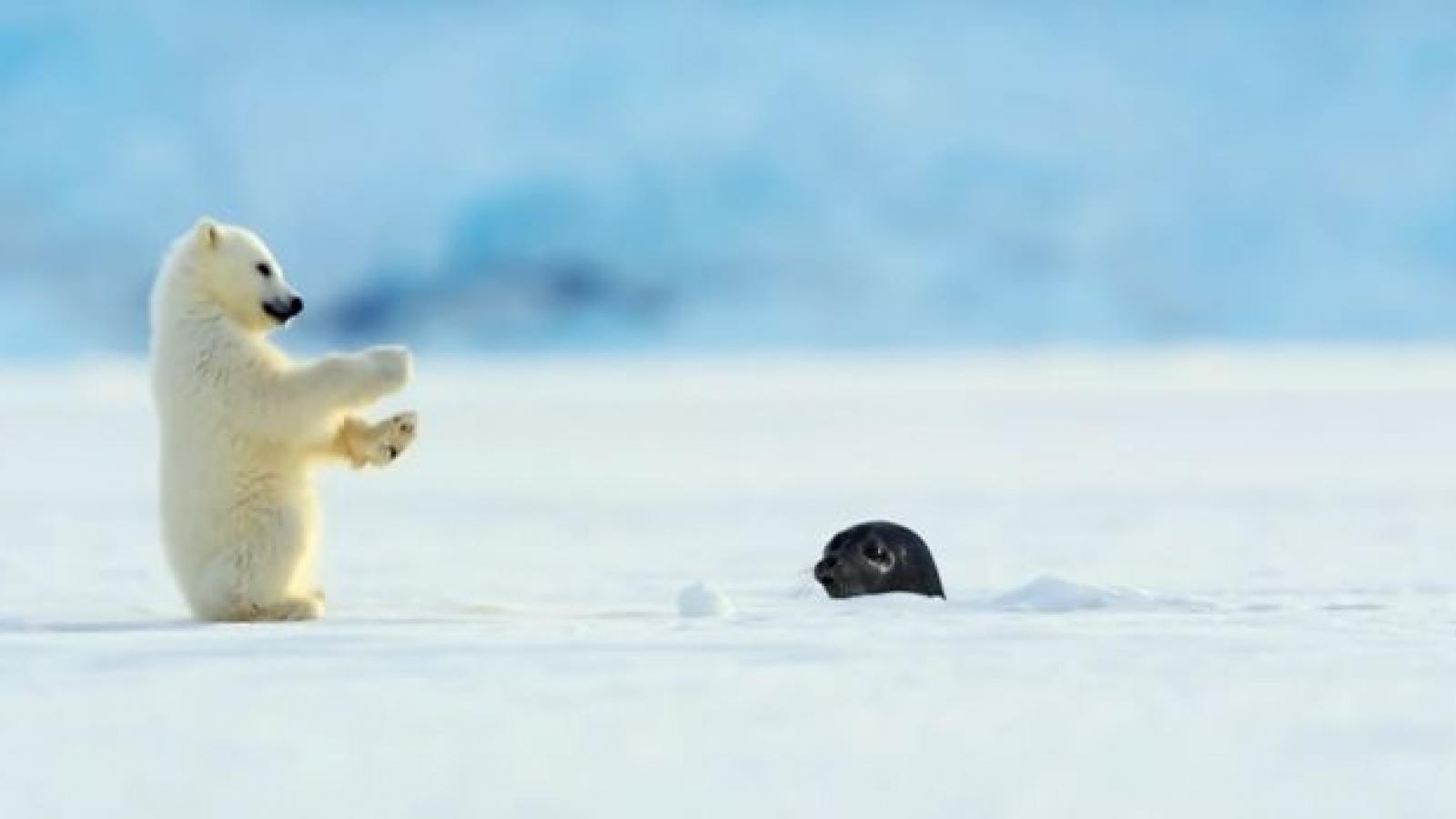 """Phản ứng đáng yêu của gấu Bắc cực con khi bị hải cẩu """"hù dọa"""""""