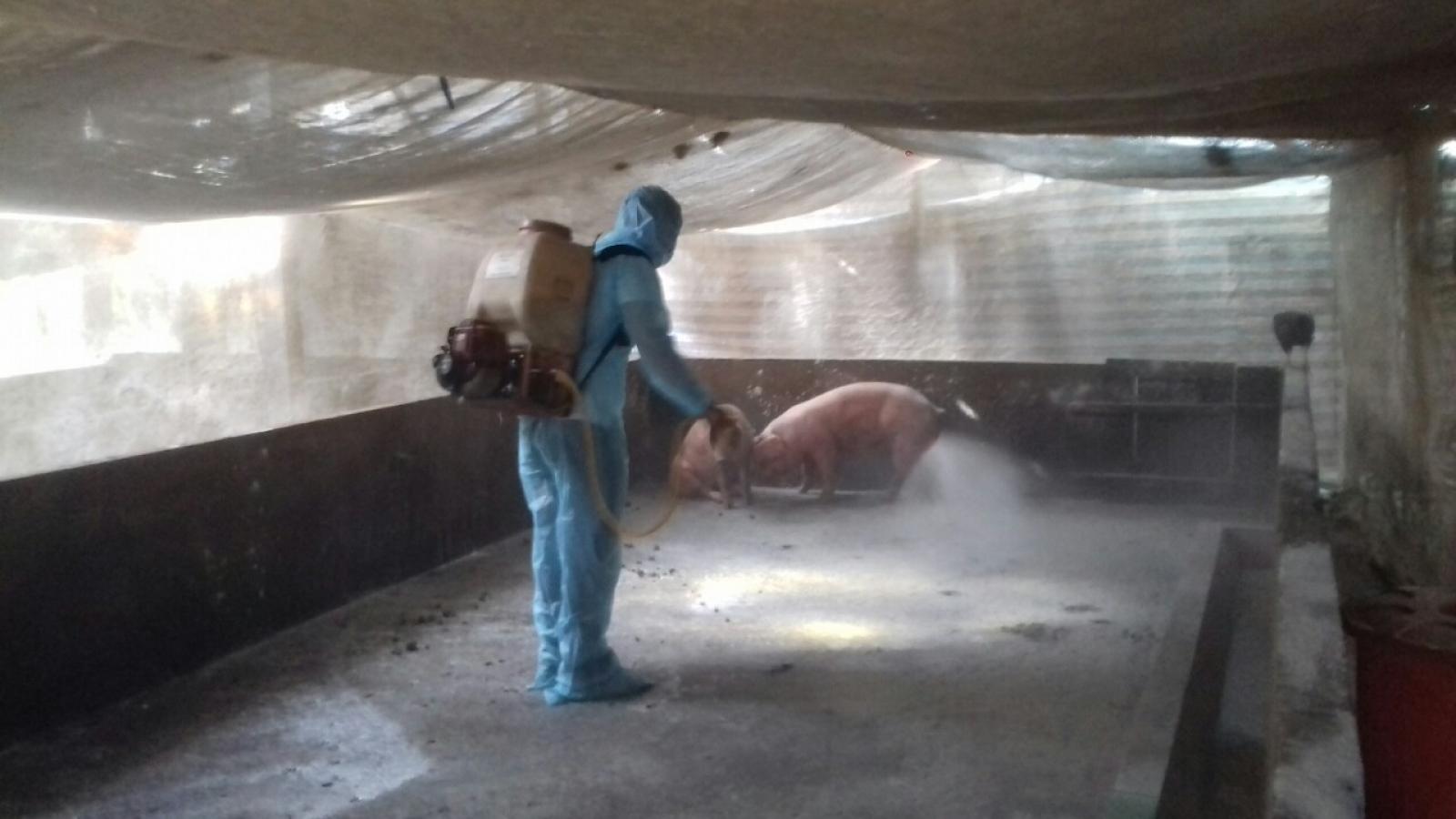 Sóc Trăng tiêu hủy 1,2 tấn lợn nhiễm dịch tả lợn châu Phi