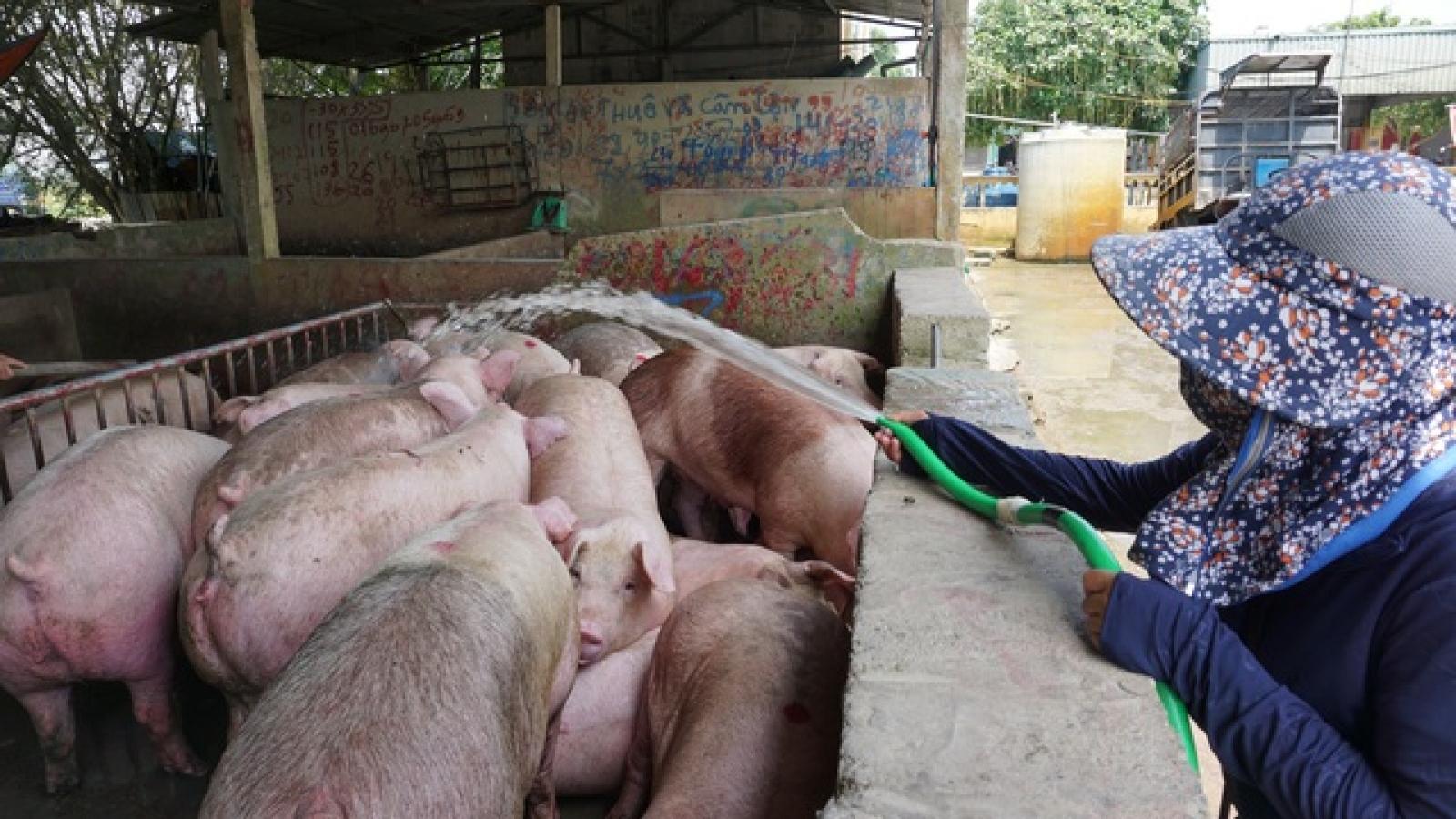 """Giá thịt lợn tăng trở lại, """"chạm đỉnh"""" vào Tết Nguyên đán?"""