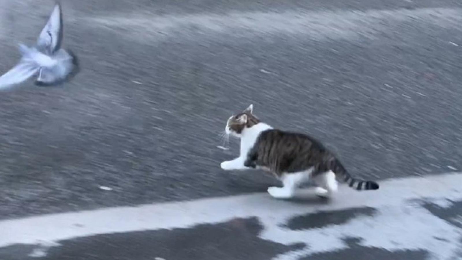 """Video: Chán bắt chuột, mèo Larry của Thủ tướng Anh trổ tài """"săn"""" bồ câu"""