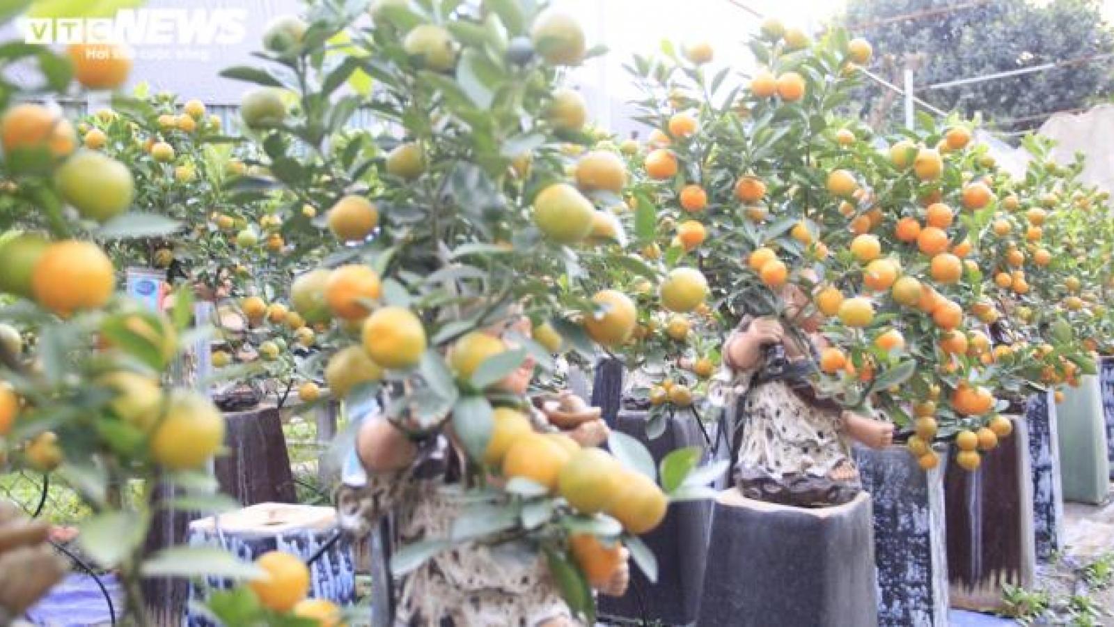 Cây cảnh Tết Tân Sửu, quất bonsai trĩu quả đắt hàng