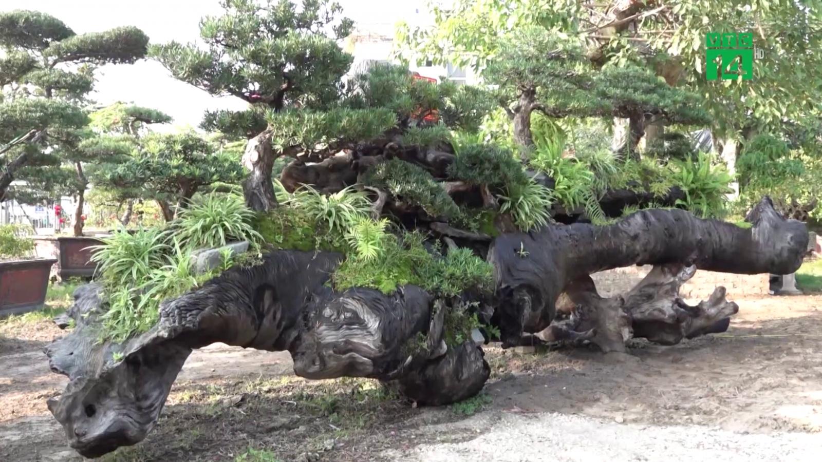 """Độc đáo """"khu rừng"""" tùng la hán trên thân cây sao đen 6 tấn"""