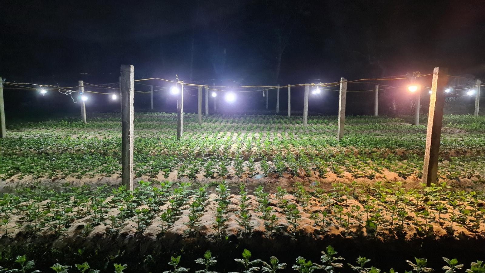 Chong đèn trồng hoa Tết