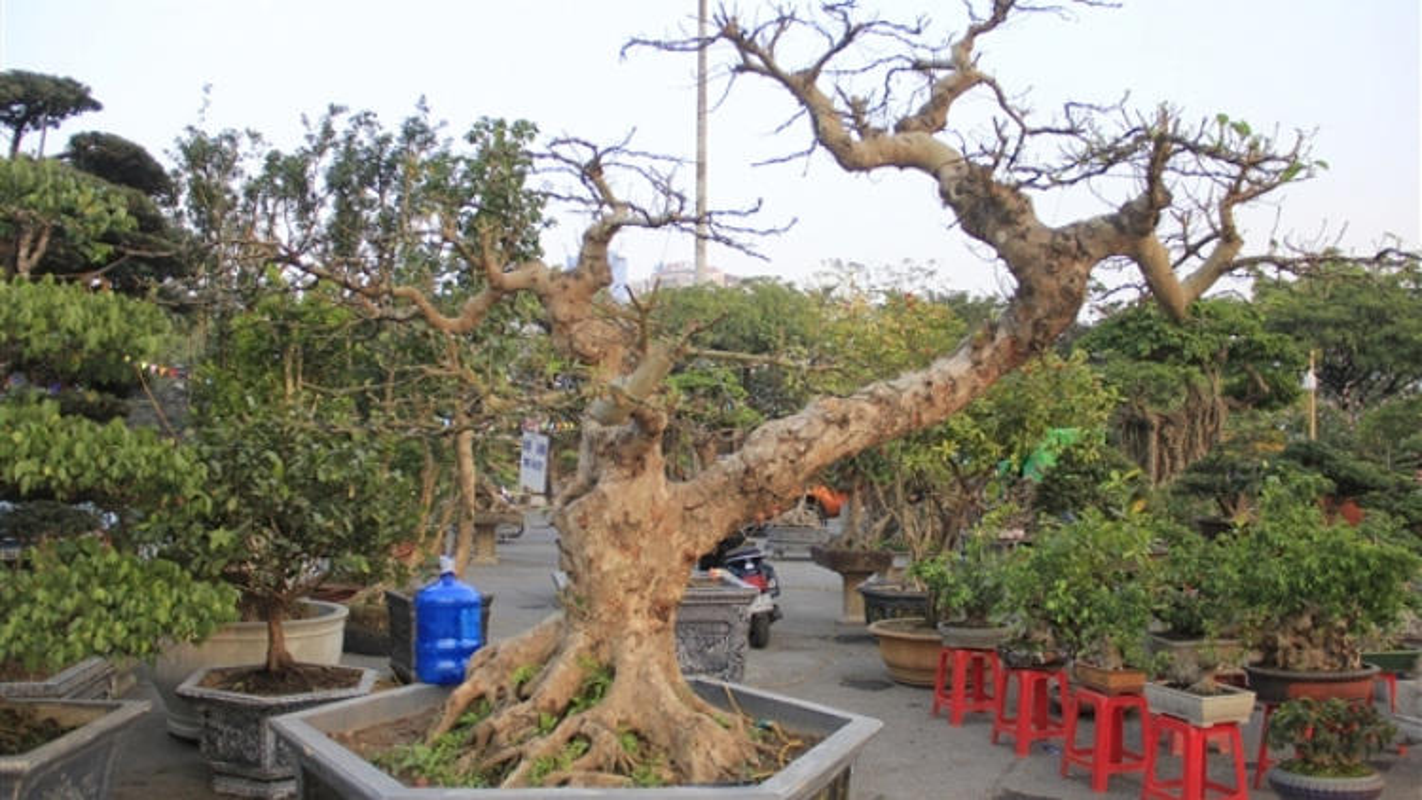 Ngắm cây sung thế lạ gần 100 tuổi giá trăm triệu đồng
