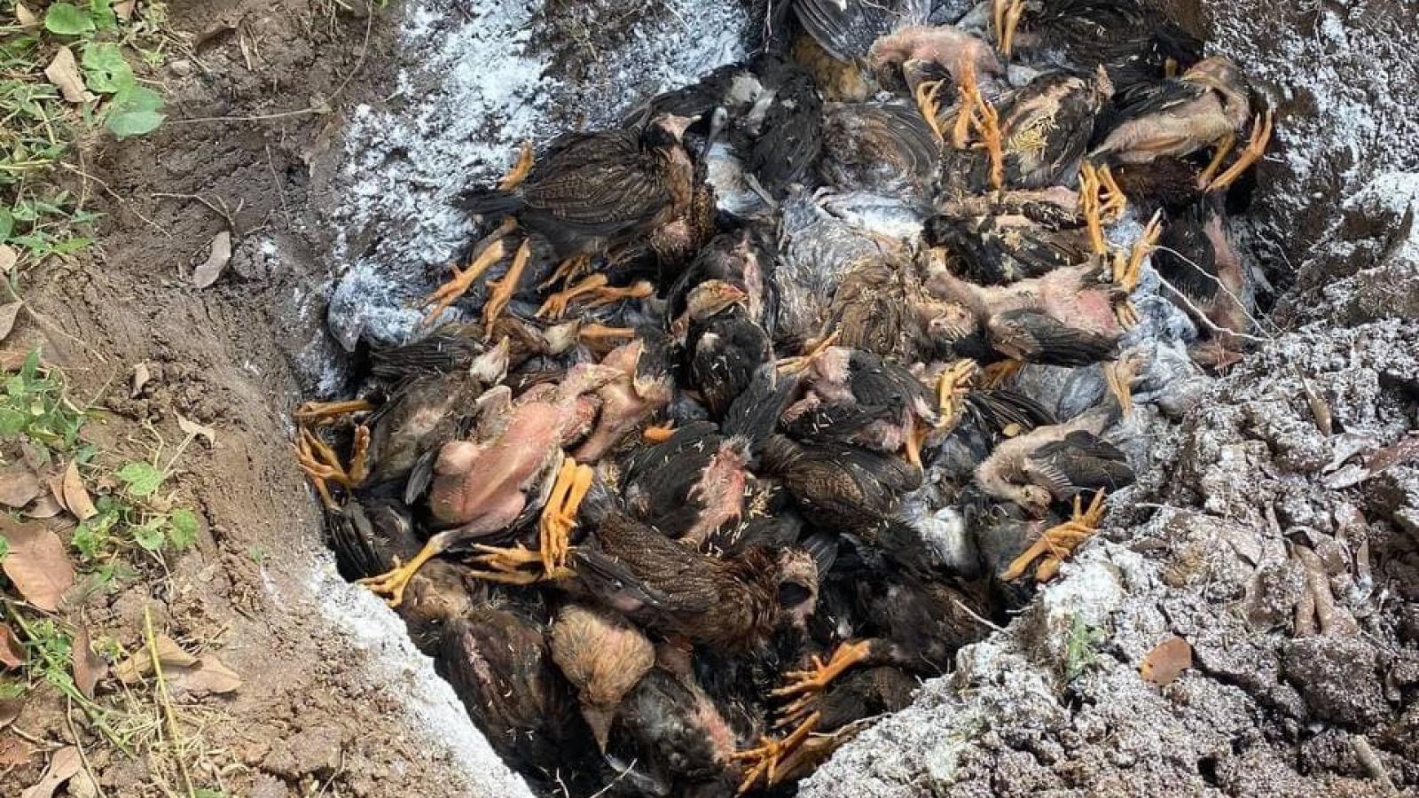 Campuchia: Gà chết hàng loạt không rõ nguyên nhân