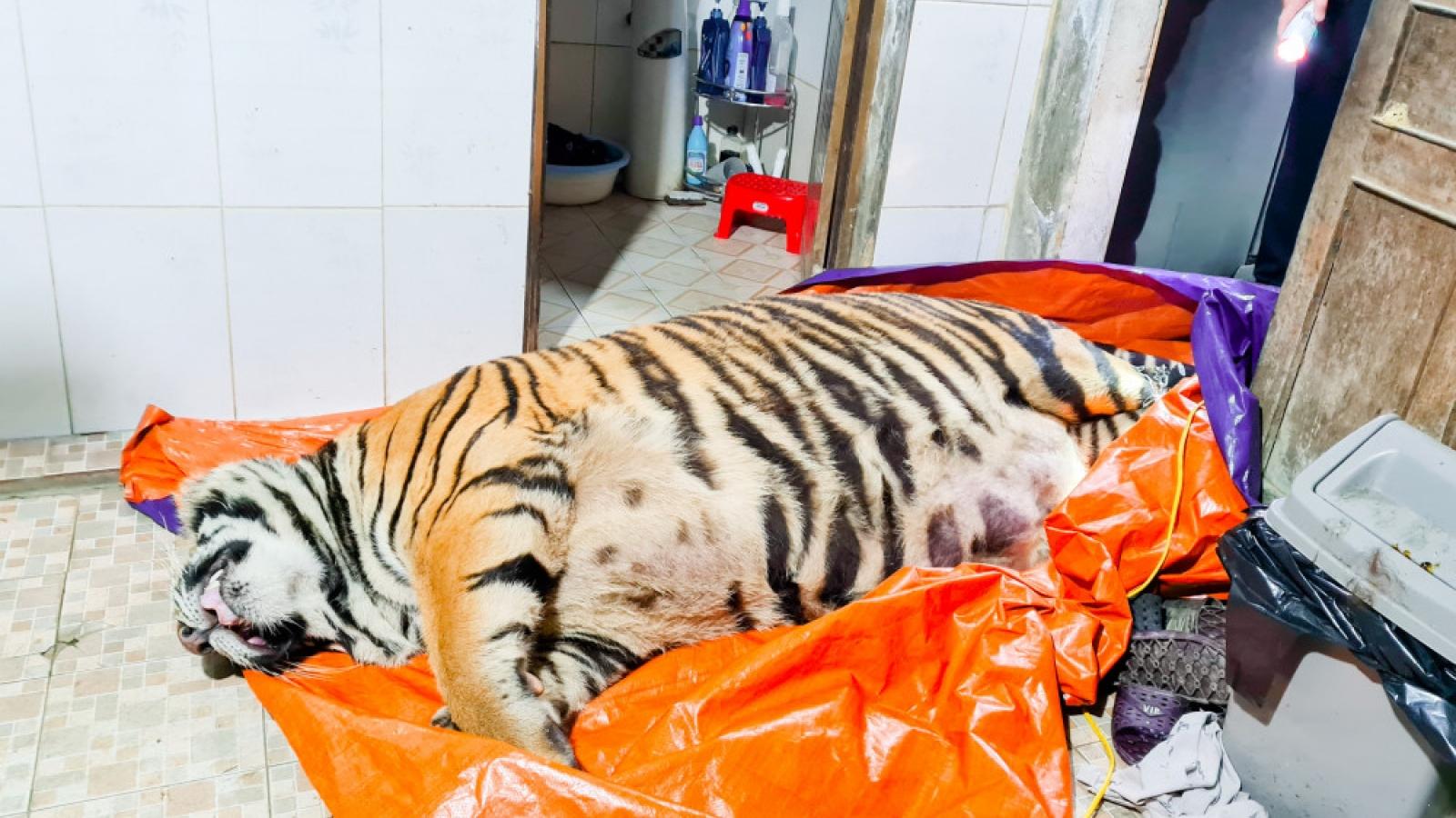 Công an Hà Tĩnh phát hiện xác một cá thể hổ nặng đến 250kg giữa sân nhà dân