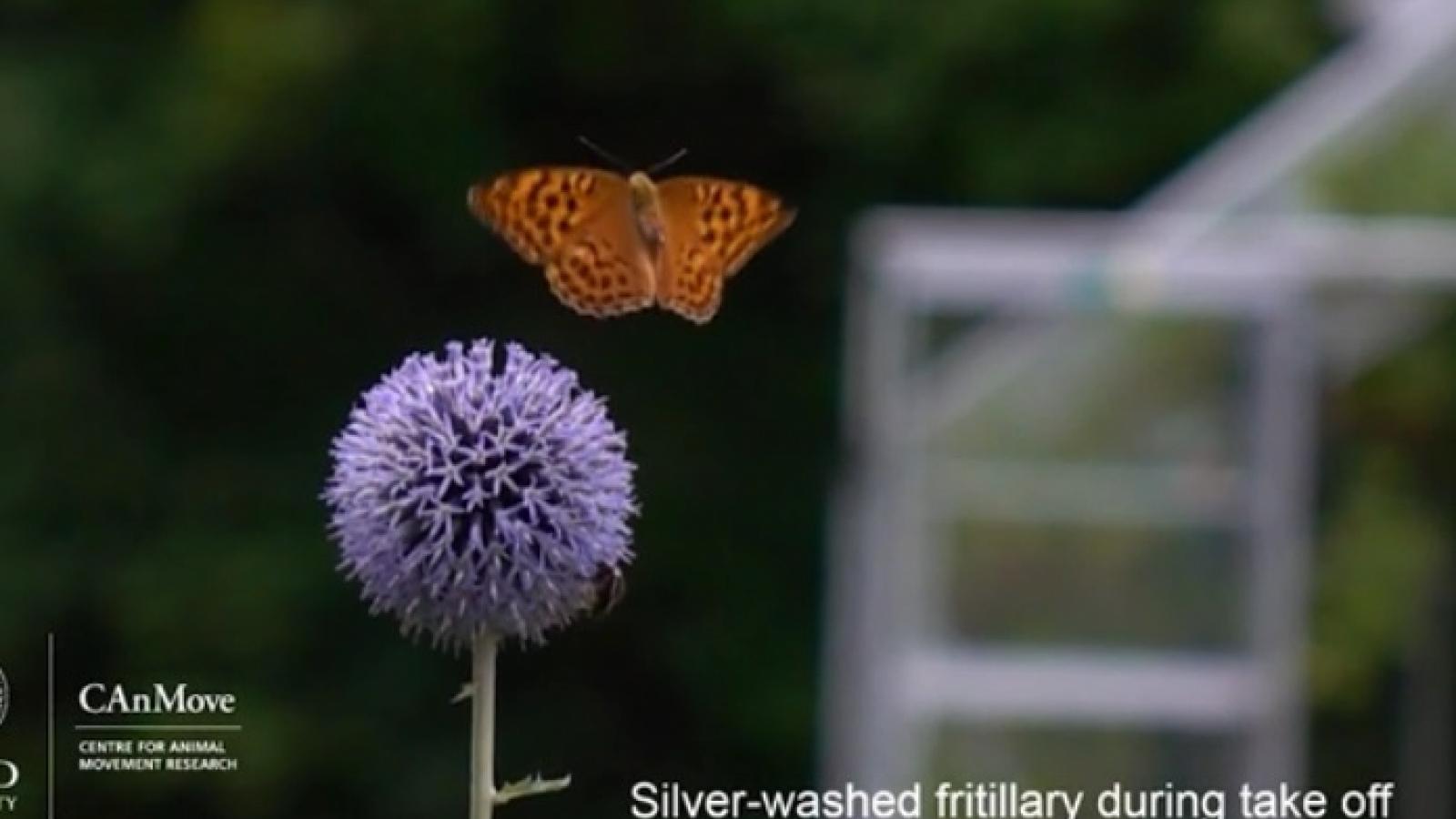 Khoảnh khắc bướm vỗ cánh, tạo túi khí để tăng thêm lực đẩy cất cánh bay lên