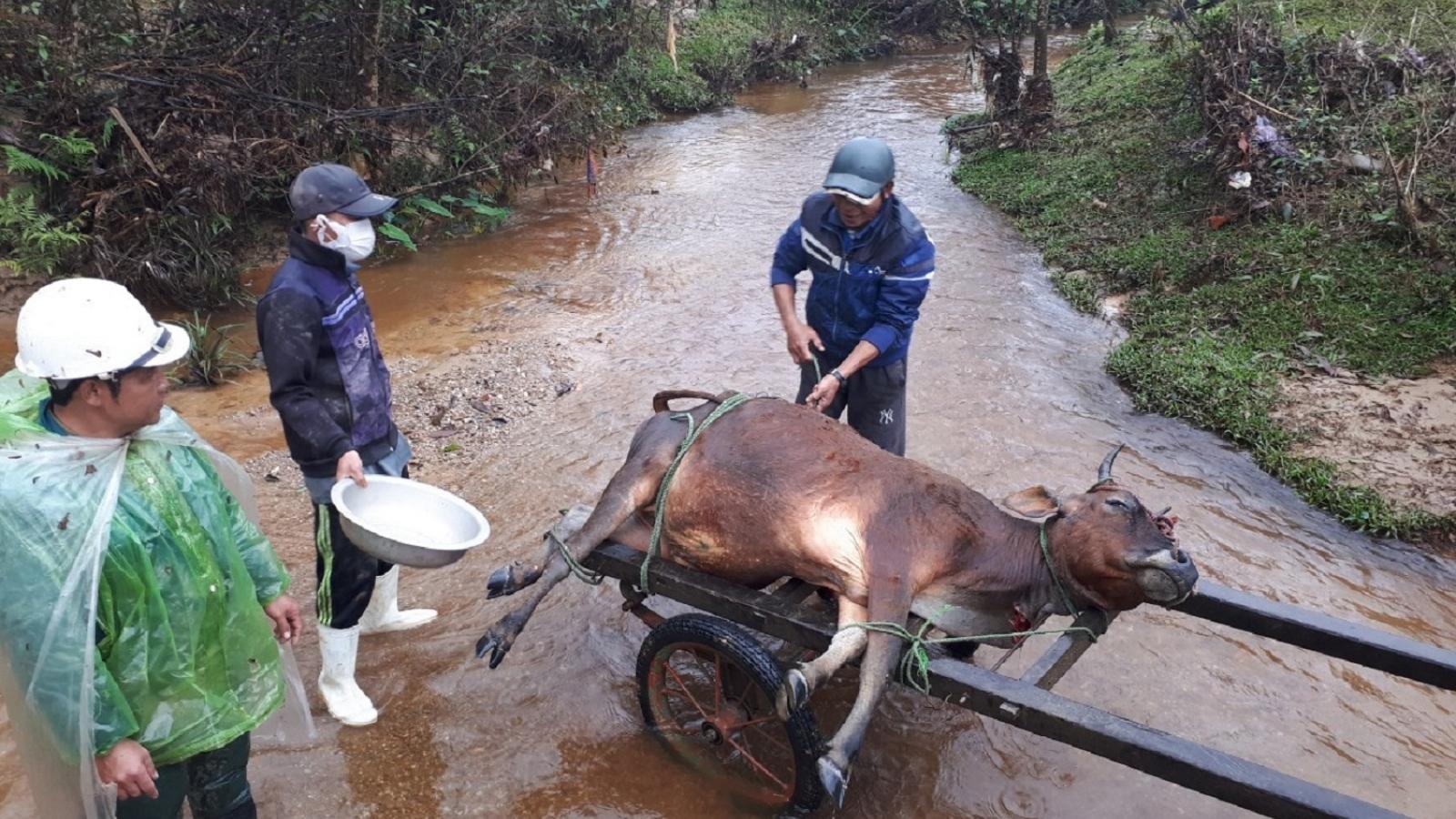 Hơn 900 gia súc ở miền núi A Lưới (TT Huế) bị chết