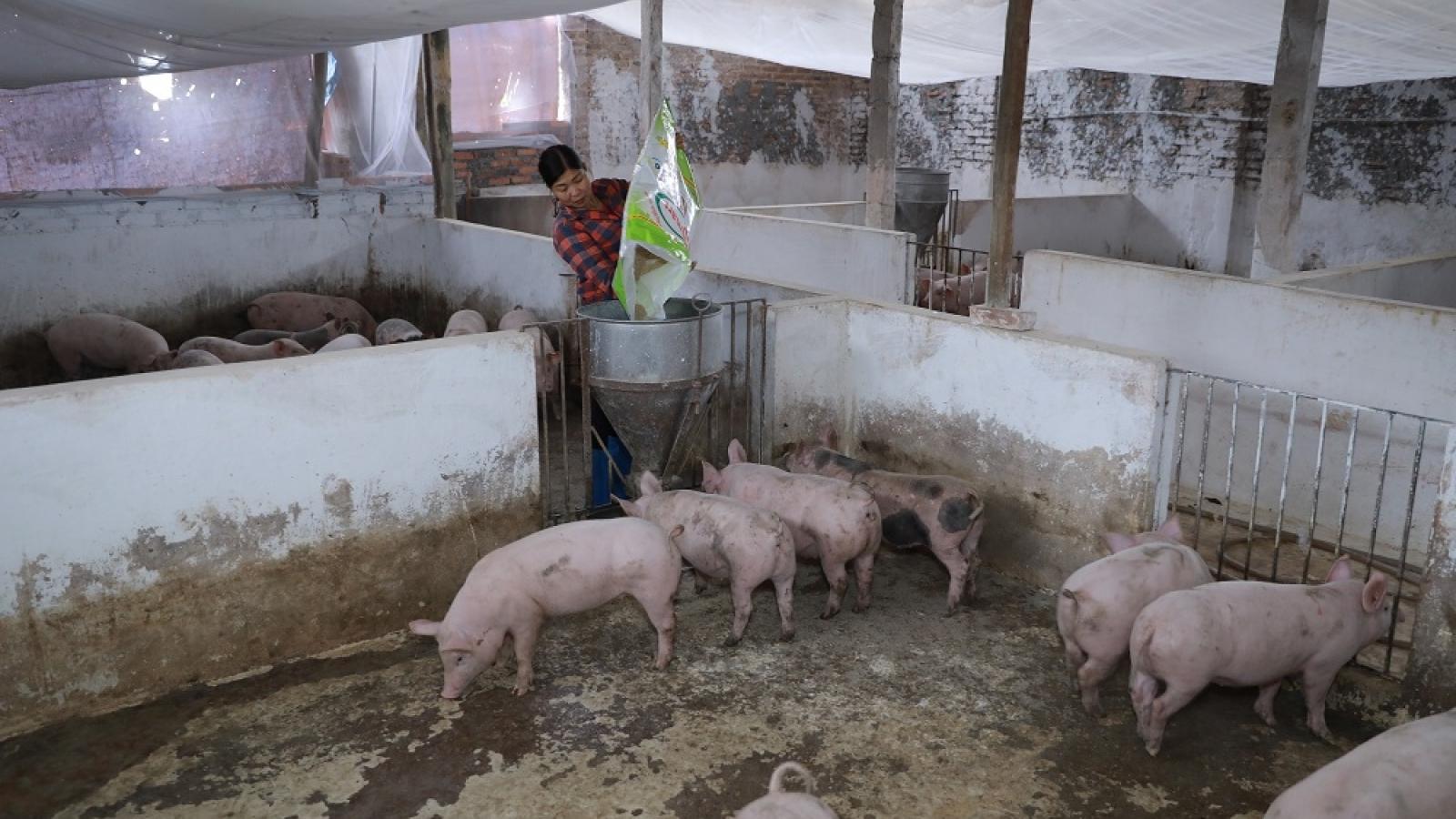 Bắc Giang tái đàn gia súc thành công nhờ chăn nuôi an toàn sinh học