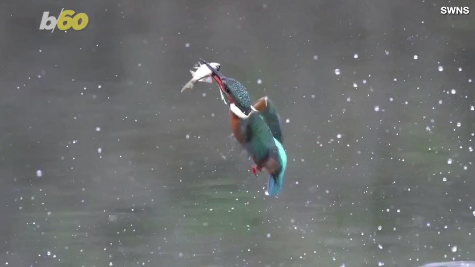 Khoảnh khắc chim bói cá săn mồi dưới nước