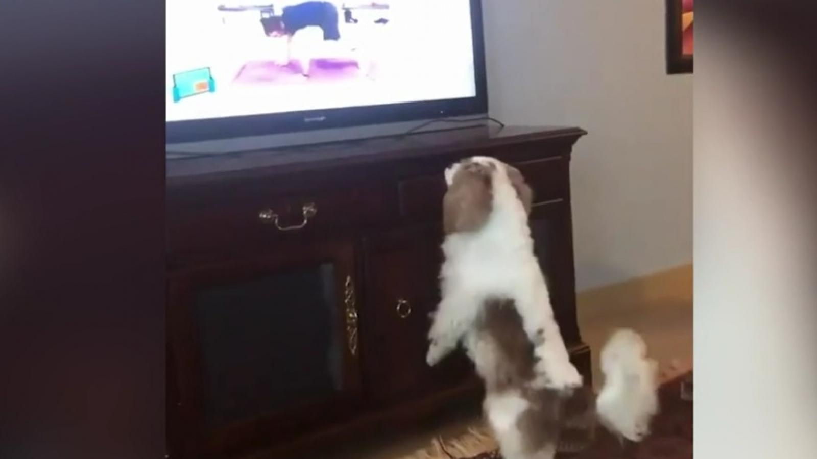 Tan chảy trước chú chó Spaniel đáng yêu đam mê tập gym cùng HLV