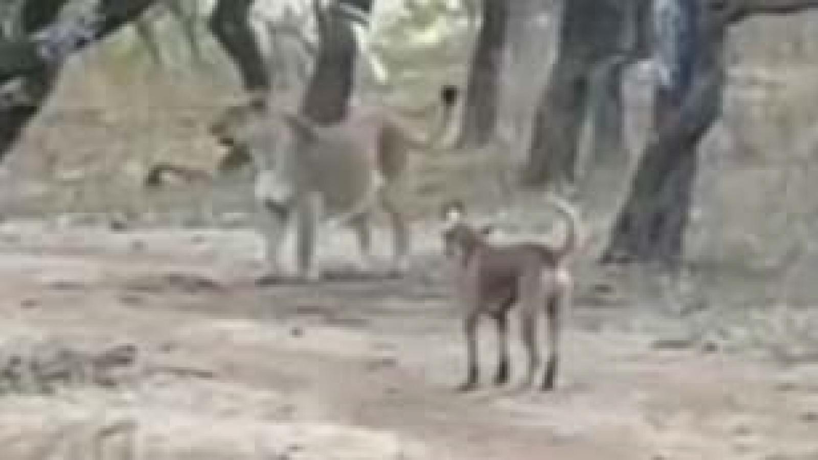 Video: Chó hoang một mình đối đầu với sư tử hung dữ